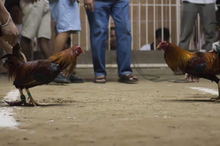 Kegemaran Menggunakan Permainan Judi Sabung Ayam Online