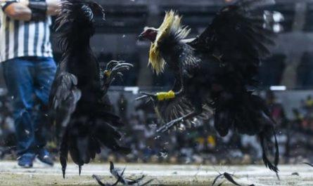 Trik Yang Bisa Menangkan Game Sabung Ayam Online